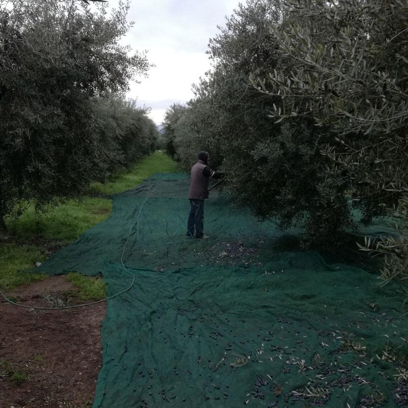 Raccolta dell'Oliva di Gaeta 2019